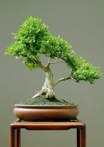 Como Cuidar Bonsai
